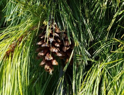 WHAT YOU NEED TO KNOW ABOUT THE EASTERN WHITE PINE
