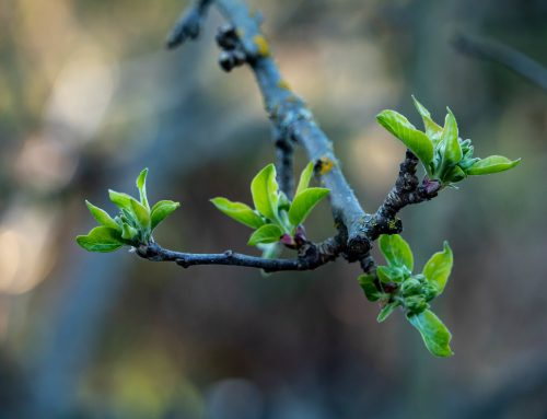 WHAT ARE WATER SPROUTS ON TREES?